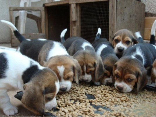 Des chiots beagles / Image d'illustration / Photo DR