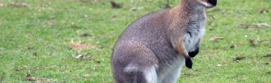 Photo DR / un wallaby